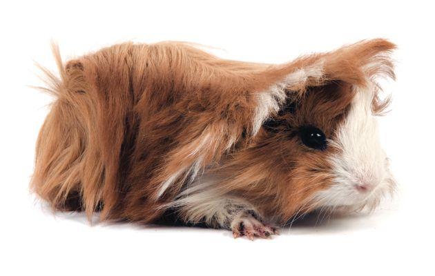 Cobaya peruviana. La cobaya Peruviana posee un pelo sedoso, brillante y liso, que puede llegar a medir hasta 20 cm de largo. Pueden ser de varios colores: unicolor, bicolor o tricolor.