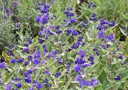 SEMPREVERDE ESTATE AUTUNNO caryopteris kew blue  La pianta di Caryopteris × clandonensis 'Kew Blue' è parte della famiglia Lamiaceae ed è di tipo perenne arbustivo. L'altezza non supera il metro e in genere è in media di 70 cm o più piccola, mentre la larghezza è contenuta, va da 50 a massimo 90 cm.Per crescere e arrivare al suo massimo sviluppo sono necessari in media 5-10 anni.