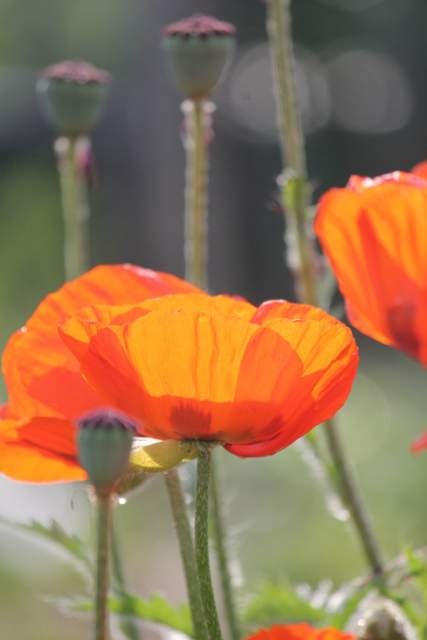 poppies at sunset.