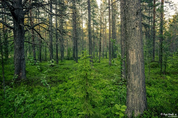 Forest in Malmberget, Sweden. © Popi Kmb