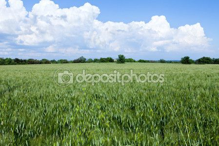 Green wheat field and countryside scenery in a beautiful sunny day.