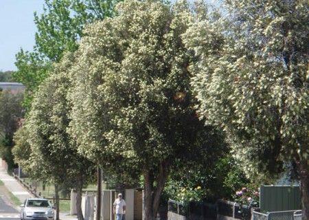 Callistemon salignus - Metropolitan Trees