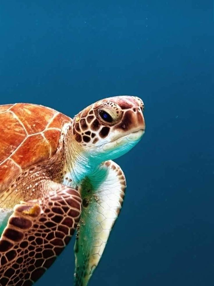 ?sea turtle population essay Incubation temperature also affects traits that can  meylan a (2009) decreasing annual nest counts in a globally important loggerhead sea turtle population.