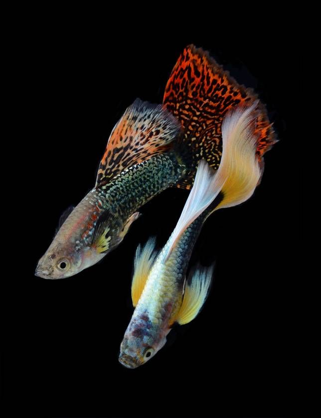 Sometimes called millionfish, they make great flashy-finned friends.