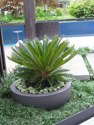 30 best images about cycads on pinterest gardens for Cycas landscape design