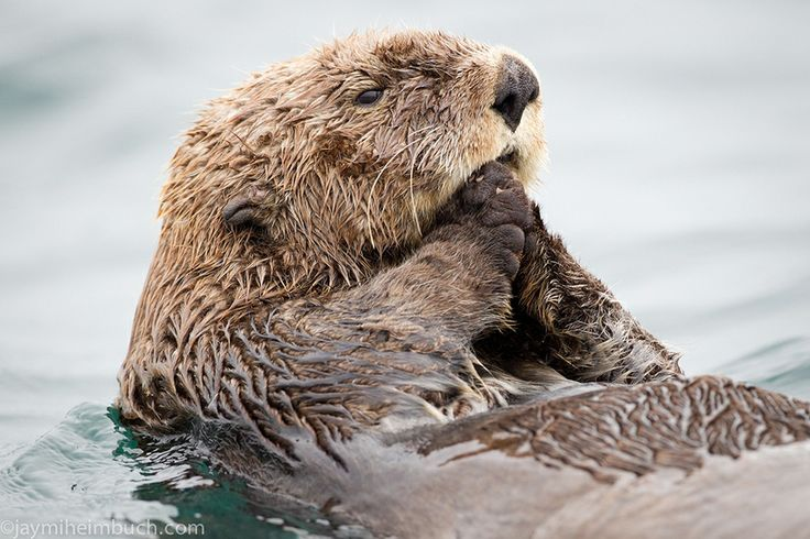 Sea otter photos and fun facts for Sea Otter Awareness Week