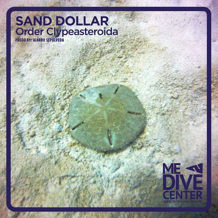 The term sand dollar (or sea cookie or snapper biscuit in New Zealand or pansy shell in South Africa) are species of extremely flattened burrowing sea urchins belonging to the order Clypeasteroida. Some species within the order not quite as flat are known as sea biscuits. Related animals include other sea urchins sea cucumbers and starfish. SOURCE-> http://ift.tt/1XhRQOp PC-> @sepul.lopez #photo #scuba #ocean #nature #playadelcarmen #diving #reefs #natureisawesome #medivecenter…