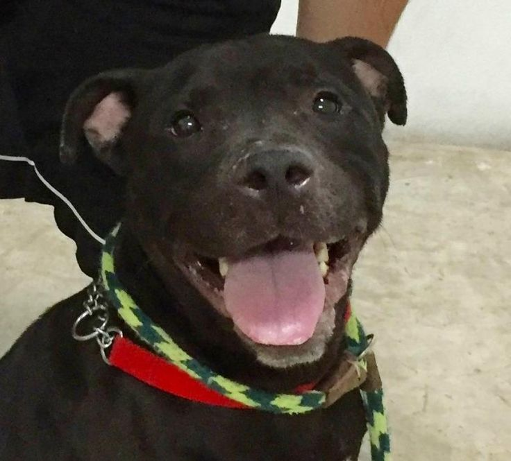 Meet Midnight (20178), an adoptable Labrador Retriever looking for a forever home. If you're looking for a new pet to adopt or want information on how to get involved with adoptable pets, Petfinder.com is a great resource.