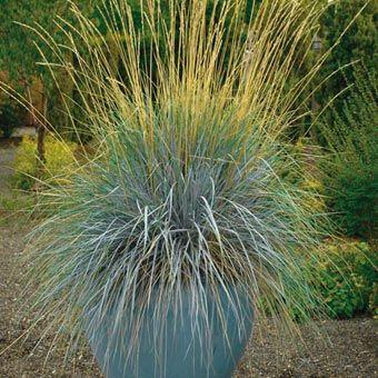 1000 images about grasses sedges on pinterest for Short ornamental grasses full sun