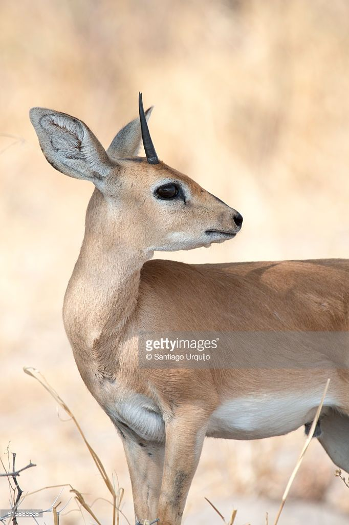 male-steenbok-picture-id615668636 (682×1024)