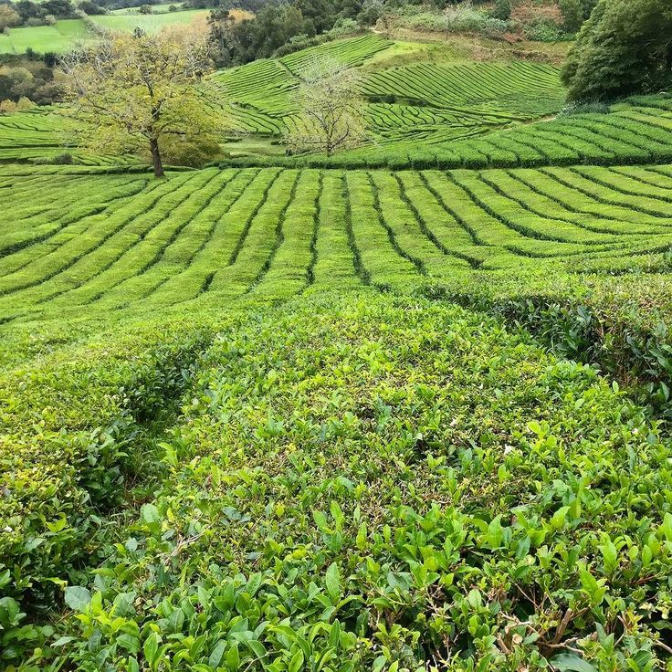 ...a cup of tea anyone?  . #natureknowsbest #tea #herbata #chá #teaoclock #alpakamybags #açores #portugal #gorreana #teaplantation #muchgreen #fluffyhills