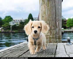 English cream long haired miniature dachshund