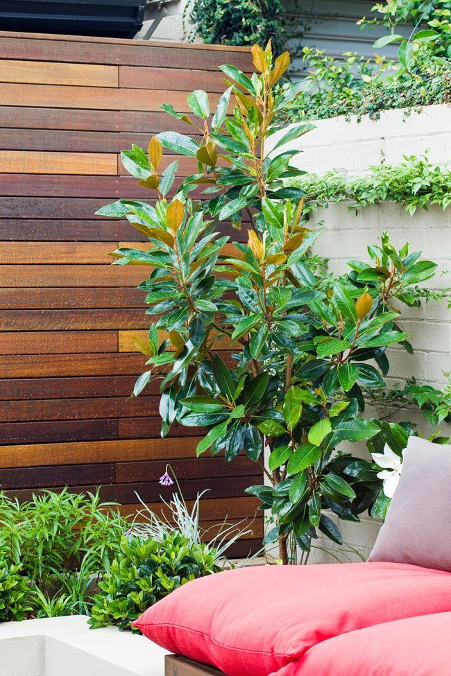 Don looked at a new dwarf variety of the evergreen or Bull Bay magnolia (Magnolia grandiflora). 'Little Gem' was developed…