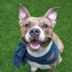 CANI A1110123\r\n\r\nProfile:\r\n\r\n04\/26\/17 16:01\r\n\r\nBasic Information\r\n\r\nCani is an approximately 1 y female Am Pit bull mix. She is being surrendered because of personal Problems. The owner has never taken to Cani to a vet.\r\n\r\nSocialization\r\n\r\nAround strangers, Cani is friendly around new people. She lived with children but she was very playful with children and adults outside. He has never lived with other dog and when outside she barks at other dogs. The owne...