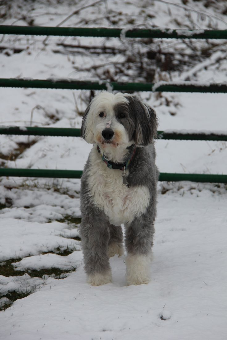 Libby the Old english sheepdog