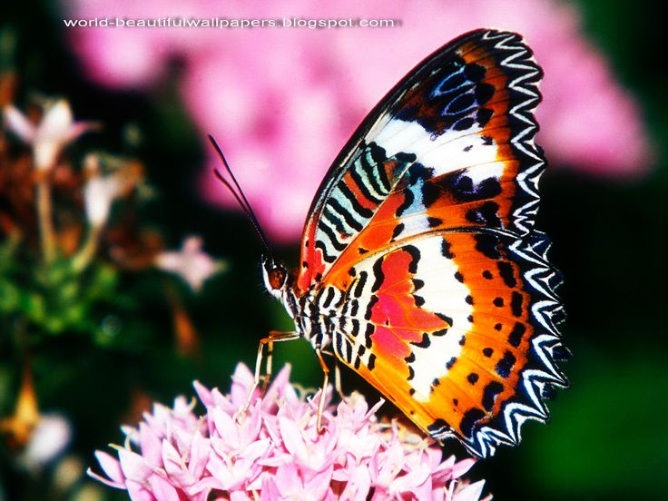 latest wallpapers of butterflies - photo #37