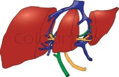 http://liverbasics.com/transaminitis.html Transaminitis is a term that means raised levels of particular liver enzymes, which are known as transaminases.