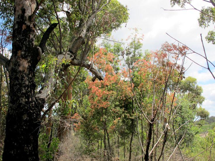 Christmas Bush, Ceratopetalum gujmmiferum, north of Broken Bay, 14/12/14.  Pulled-back, habit shot.