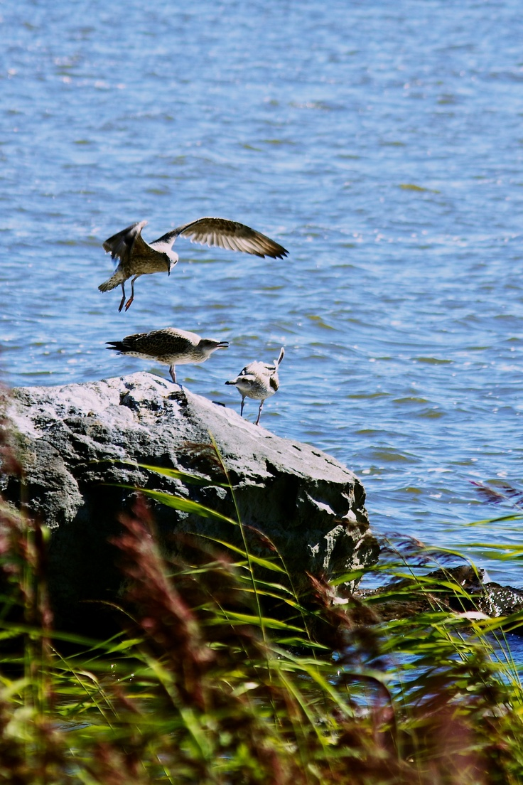 Young Seaguls. #photography #wildlife #birds #vaasa #coast