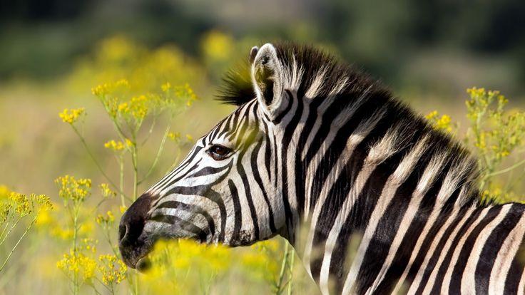 Скачать обои зебра, лето, природа, раздел в разрешении 1600x900