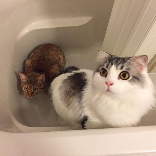 毎朝恒例おふろパトロール🚓 #猫 #cat #고양이 #子猫 #kitty #kitten #새끼고양이 #スコティッシュフォールド #scottishfold #ぽて #pote #포테 #オシキャット #ocicat #こまめ #komame #코마메 #愛猫 #お風呂 #bathroom #パトロール