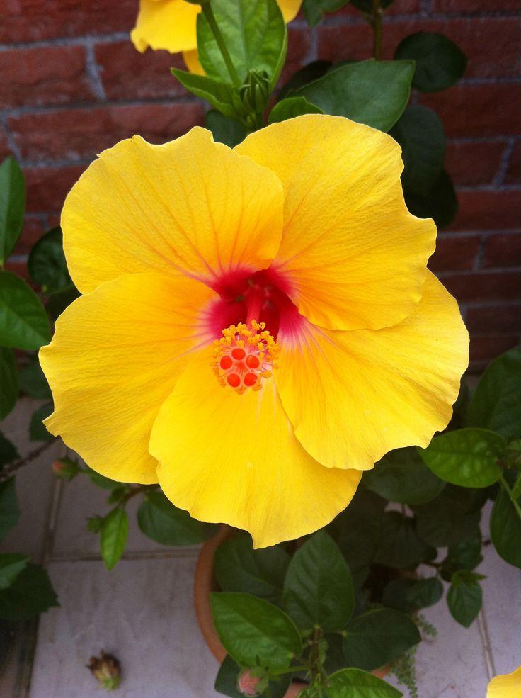 Rose Of Sharon Bush In Yellow Beautiful Flowers Garden