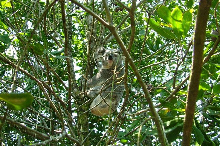 Koala in a macadamia tree from one of our growers in Macleans Ridges, NSW
