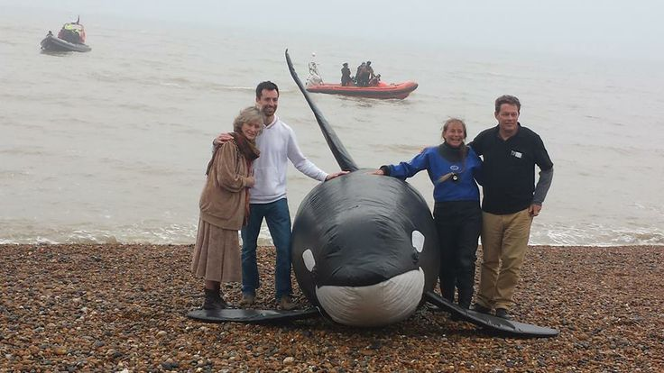 Yesterday Dr. Ingrid Visser released mock orca Morgan back into the wild with WhaleFest, Born Free Foundation and British Divers Marine Life Rescue. A big thank you to all who came along to show support!  Photo Left to Right: Virginia McKenna (Born Free), Dylan Walker (WhaleFest), Dr. Visser and Will Travers (Born Free) with mock orca Morgan - (c) Free Morgan Foundation
