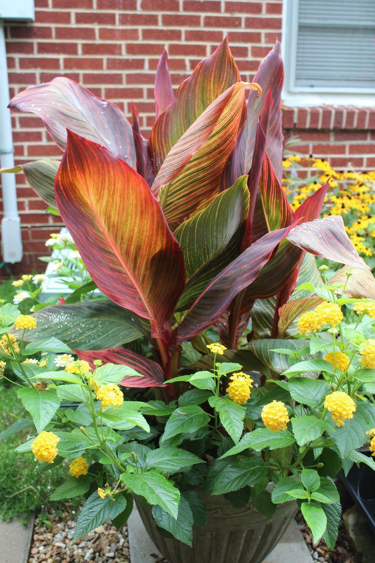 66 best images about canna planters on pinterest container gardening planters and elephant ears - Tropical container garden ...