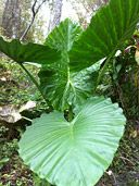 Buy Alocasia Caladora Persian Palm Plants, For Sale Online, How to grow & care for.