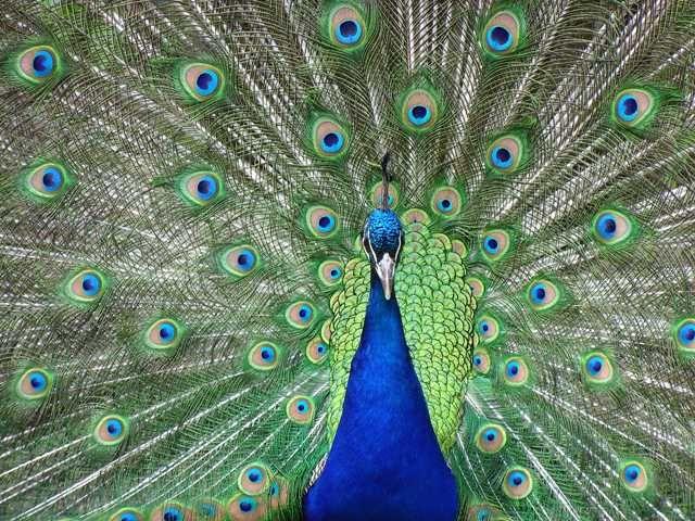 Home Jules: peacock