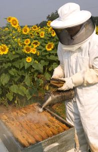 Differences Between Africanized and European Bees