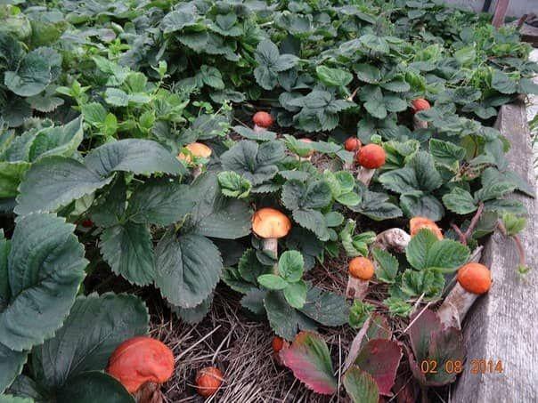 Как посеять подосиновик, белый гриб и подберёзовик на даче На даче или рядом с ней можно развести любые благородные грибы, мы поговорим о том, как посеять подосиновик, белый гриб и подберёзовик.