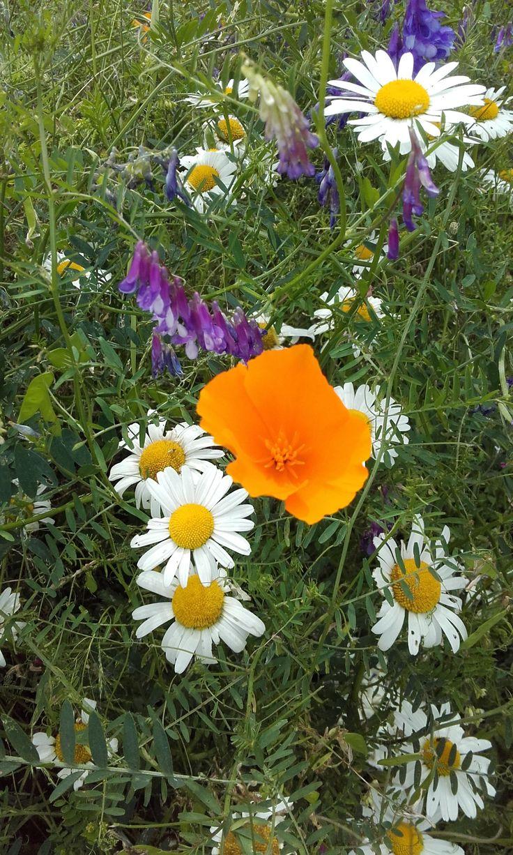 Szép, pipacsra emlékeztető, narancssárga virágaival a kaliforniai kakukkmák bearanyozza a kertet, a nap fényével és melegével tölti meg a lelket. http://kertlap.hu/bearanyozza-kertet-kaliforniai-kakukkmak/