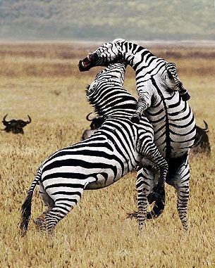 Zebra challenge  Eleanore Avery (Dallas, TX)