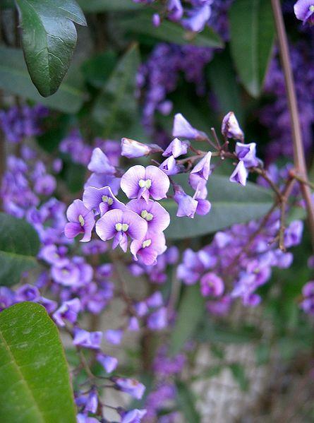 Happy Wanderer – Hardenbergia Violacea