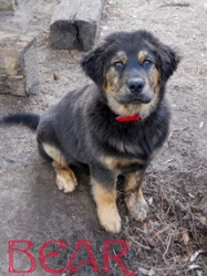Bear is an adoptable English Shepherd Dog in New Bern, NC.  Hi, I am Bear. I am an English Shepard mix. I am a male approximately 5 1/2 months old. I am up to date on all my shots and will be neutered...