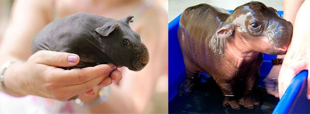 A shaved guinea pig looks like a hippo | 64 Mind-Blowing Facts That Will Make You Feel Incredibly Happy