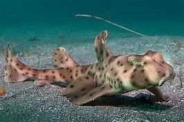 Image result for Horn Shark