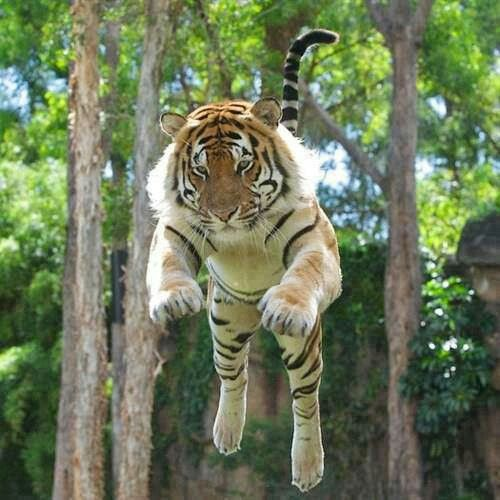 Tiger in action | Animals &/or Babies! | Pinterest