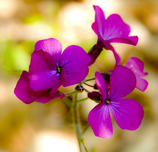 Hesperis matronalis  sweet rocket