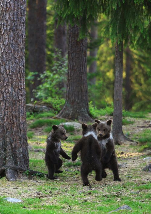 magicalnaturetour:  Dance of the Cubs by Valtteri Mulkahainen three cubs a'dancing