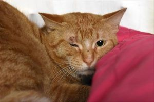 STILL ALIVE 2/27/18  Please PRAY and SHARE for this poor boy's life DEATH ROW CATS 2/24/18 !!! SHARE !!! 2 yo orange healthy boy, scared at the shelter PRAY and SHARE for a HOME or FOSTER please *** TO BE DESTROYED 02/24/18 *** DARWIN was brought in with an abrasion over his right eye and is very nervous in the shelter. He needs a new home where he can relax and regroup.