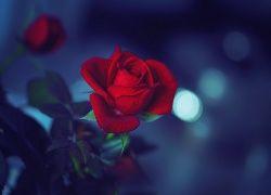 Czerwona, Róża, Rozmyte, Tło