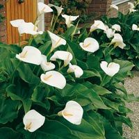 Calla Crowsborough (Zantedeschia aethiopica) - Calla von Gärtner Pötschke Ungebrochen ist die Beliebtheit der Calla, denn ihre edlen, haltbaren Blüten sind einfach unvergleichlich. Neu ist, dass diese Sorte im Garten bleiben kann und nicht mehr im Herbst eingeräumt werden muss. Die Pflanze entwickelt sich im Laufe der Zeit zu phantastischen Büschen, die viele Blüten tragen. (Zantedeschia aethiopica). Größe 14/16 cm. Winterhart bis -20 °C.