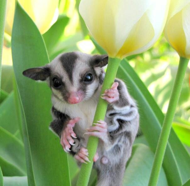 Sugar Gliders are nocturnal Marsupials native to Mainland Australia. Their most striking feature is a patagium, or membrane that stretches from their hands to their feet, allowing them to actually glide 50 - 150 meters.