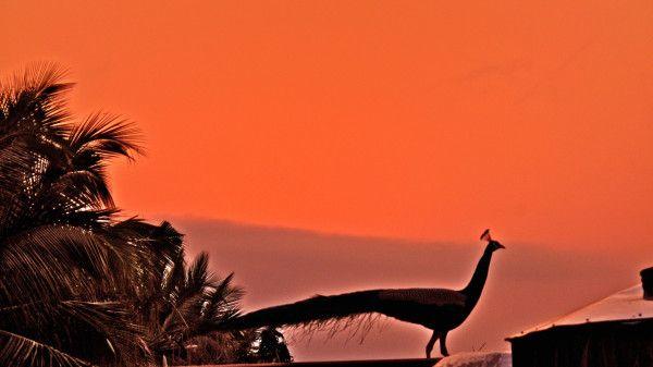 [Image: d13f1829b7b0fdf57d04990e390fb446--peacocks-dawn.jpg]