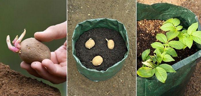 Çöp Torbasında Kendi Patatesinizi Yetiştirmek İster Misiniz?