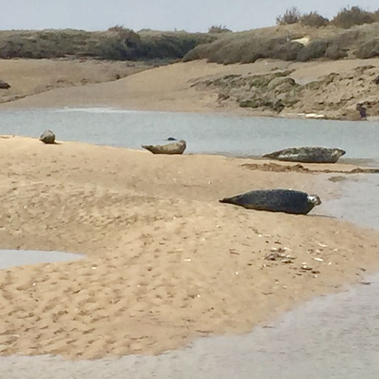 Lovely lot of seals at Brancaster beach, we counted 12!  Our very own small seal colony. Book your dog and child friendly holiday in North Norfolk now - link in bio