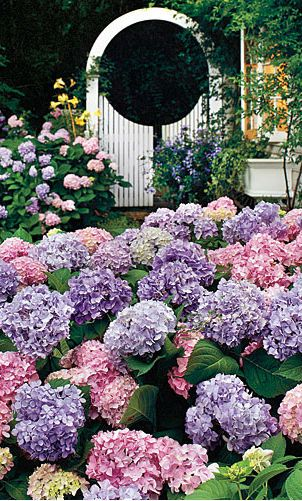 Mophead hydrangeas in bloom. Love the white gated trellis! #hydrangeamacrophylla #hydrangea #mophead